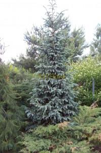 Picea engelmanii