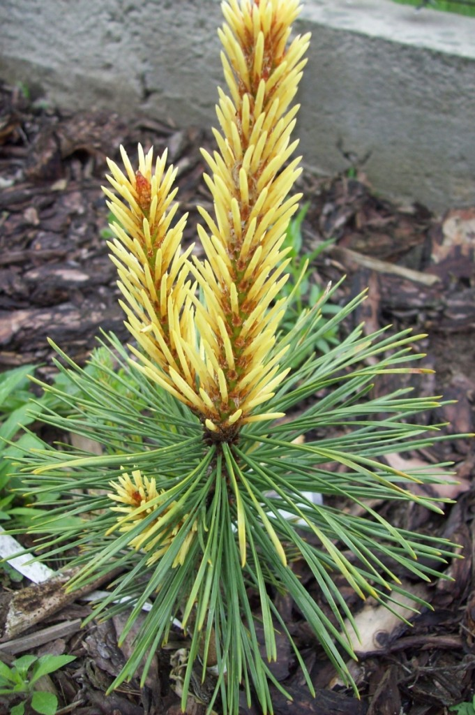 Pinus contorta Taylors Sunburst